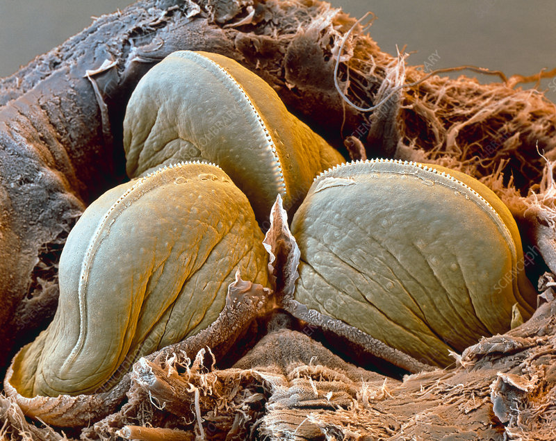 Coloured SEM of the teeth of a medicinal leech