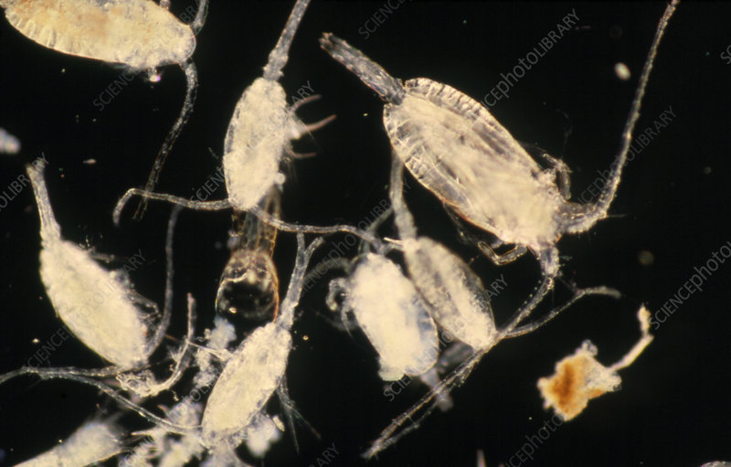 LM of marine zooplankton spp.