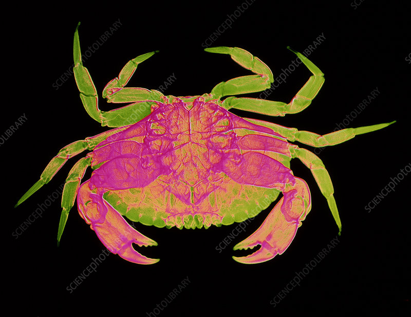 X-ray of the edible crab