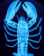 X-ray of lobster