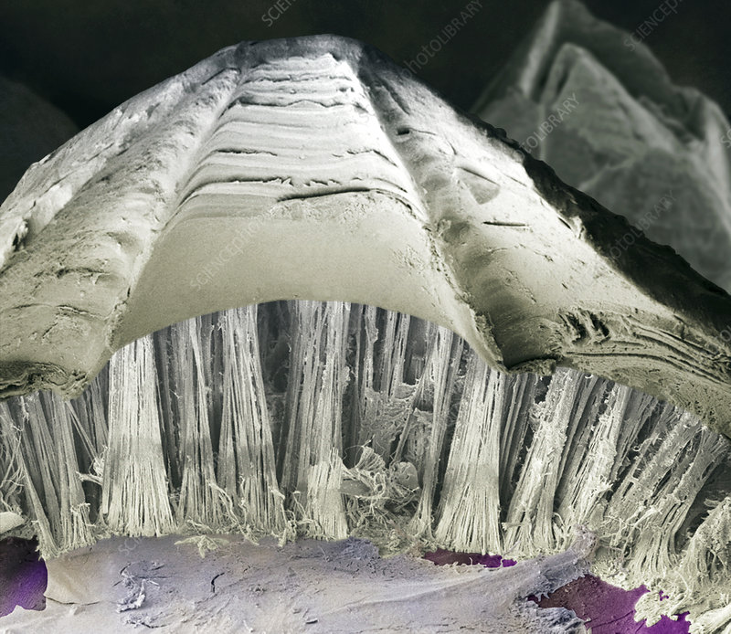 Barnacle Glue Sem Stock Image Z220 0154 Science Photo