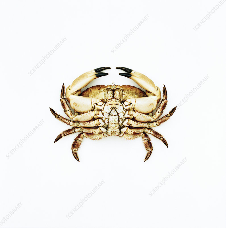 Common crab