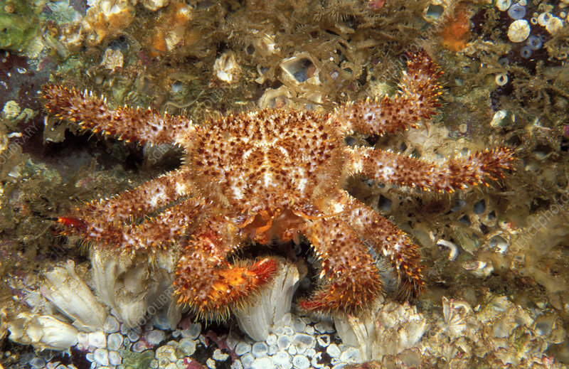 Red Fur Crab, Vancouver Island