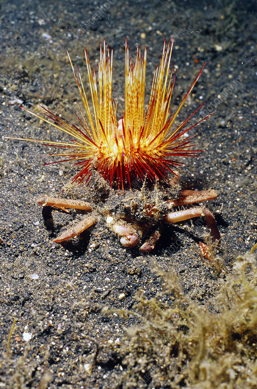 Venomous sea urchin carried by crab