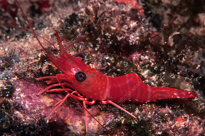 Red Night Shrimp