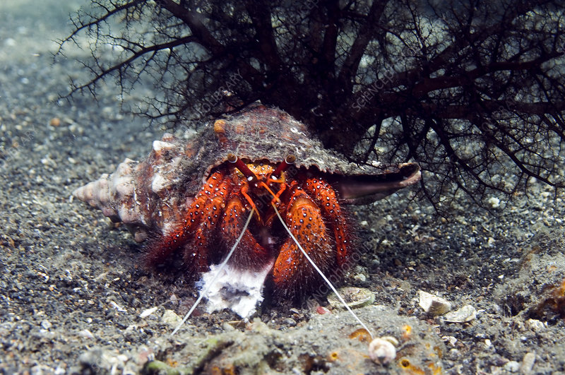 Shell-breaking hermit crab