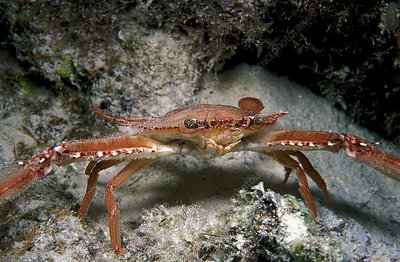 Ocellate swimming crab