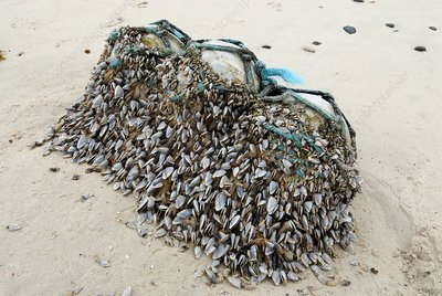 Goose barnacles on flotsam