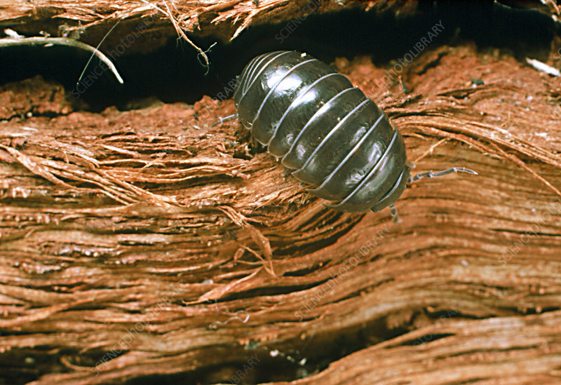 Close-up of a woodlouse