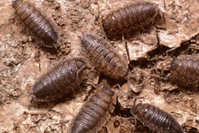 A group of woodlice