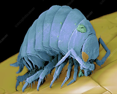 Coloured SEM of a woodlouse (Armadillidium sp.)