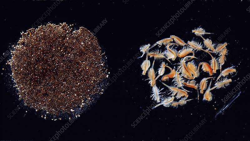 Brine shrimp eggs and larvae