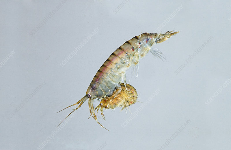 Brackish water shrimp