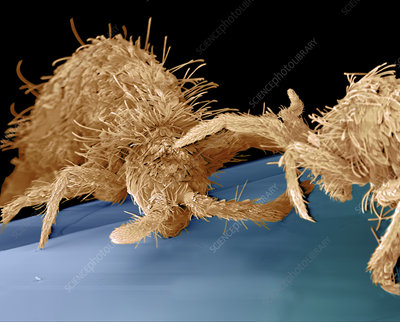 Coloured SEM of two springtails (Order collembola)