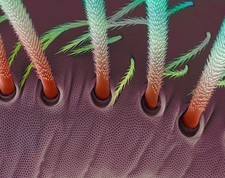 Springtail body hairs, SEM