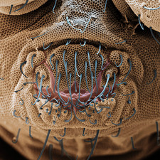 Springtail mouth, SEM