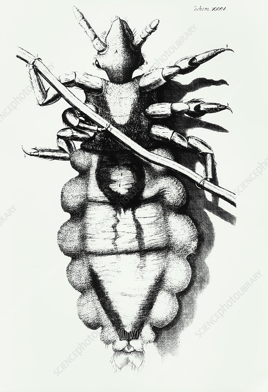 Hooke's drawing of a human louse