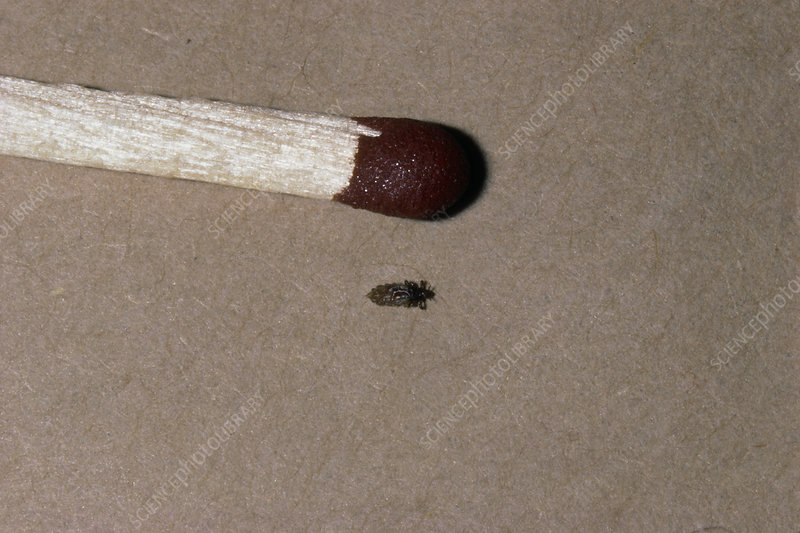 Human head louse, with match head for scale