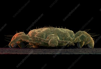 Coloured SEM of a human crab louse, Phthirus pubis