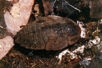 Nymph of the giant cockroach, Blaberus giganteus.