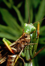 Macrophoto of praying mantis eating grasshopper