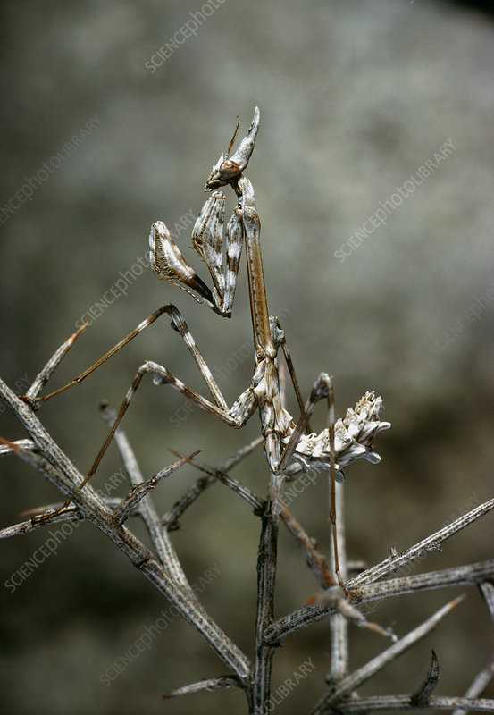 Camouflaged mantis, Empusa egena, on gorse branch