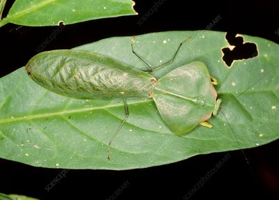 Leaf mimic mantis from Ecuador