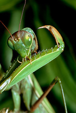 Macrophoto of praying mantis, Mantis religiosa