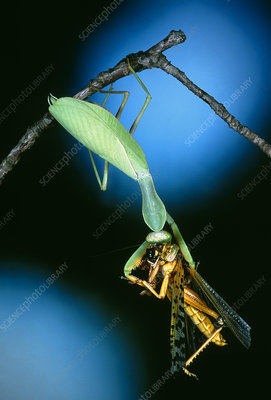 Mantis (order Dictyoptera) eating a grasshopper