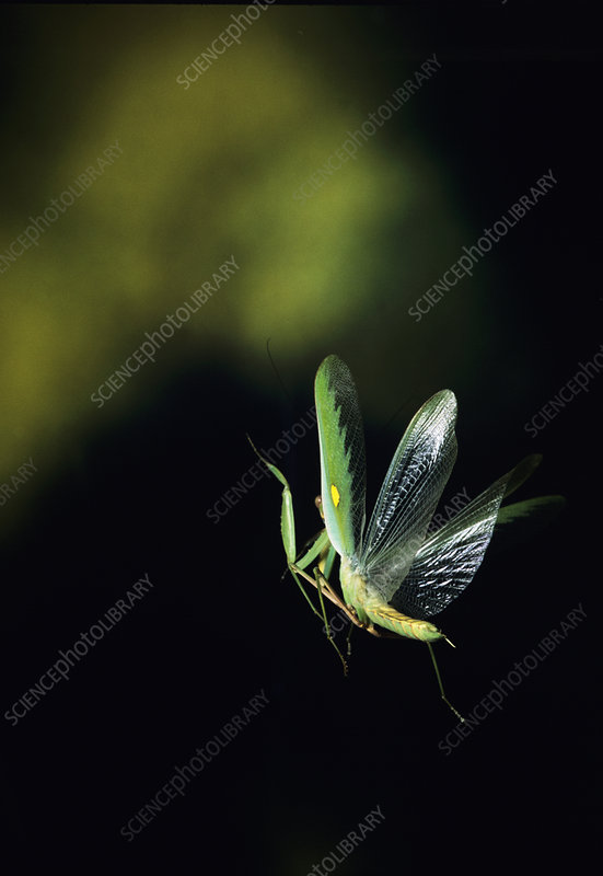 High-speed photo of a mantis in flight