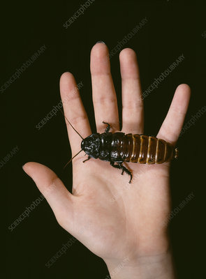 Madagascan giant hissing cockroach