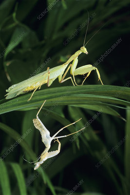 Praying mantis with its shed skin