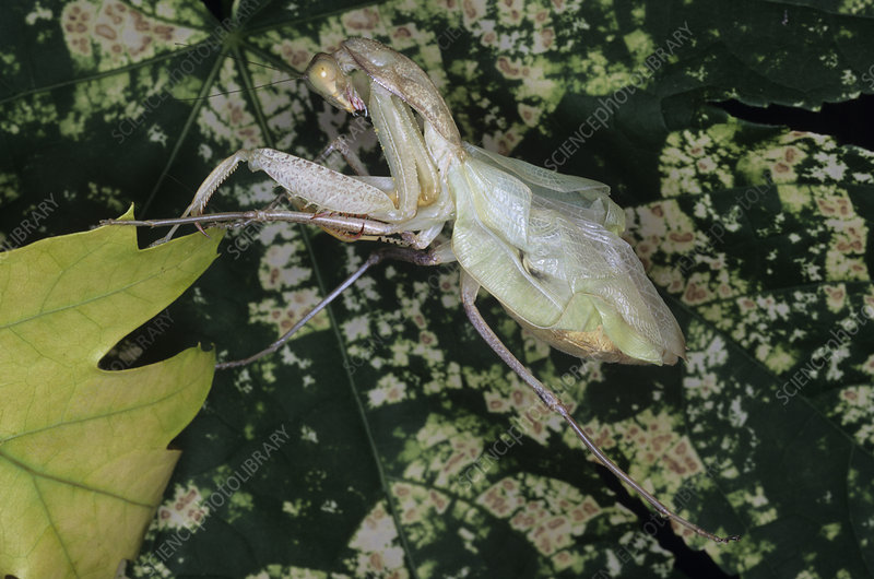 Newly moulted mantis