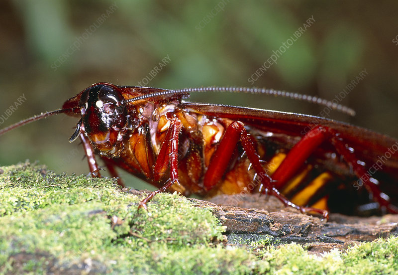 Long-winged cockroach