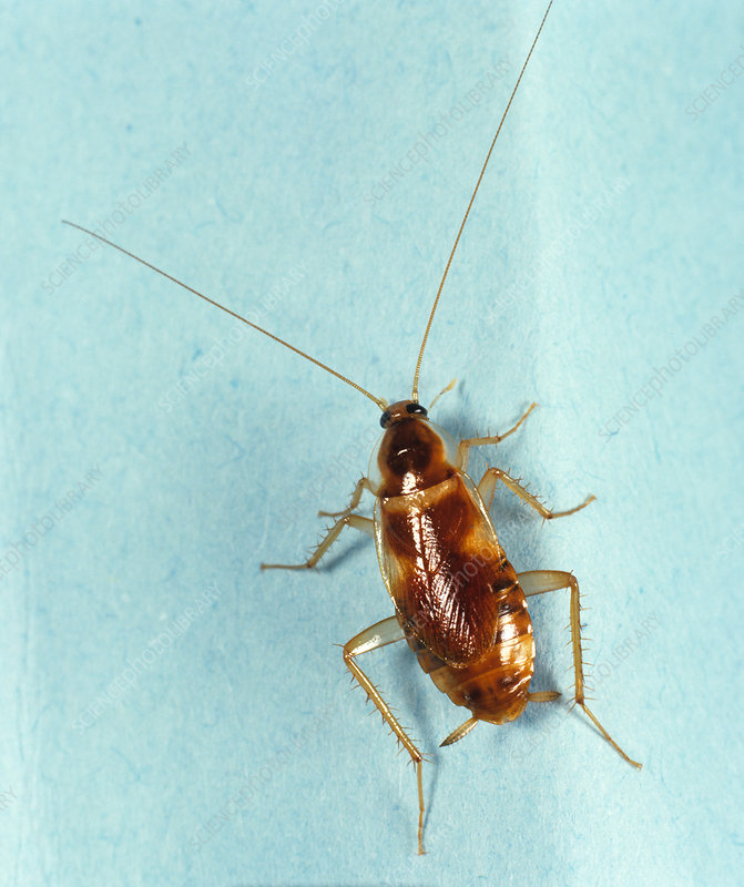 Banded Cockroach