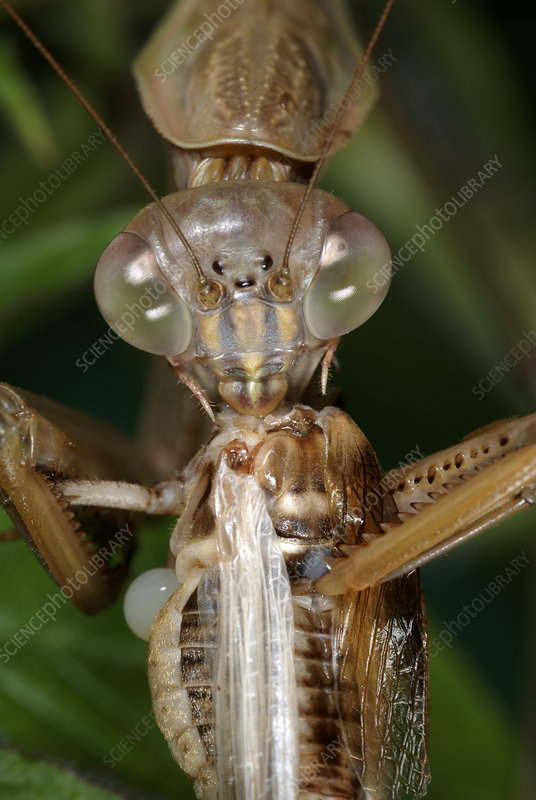 Chinese Mantid Eating a Cricket