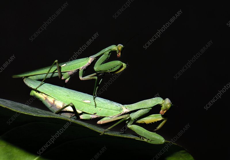 Giant Asian mantises mating