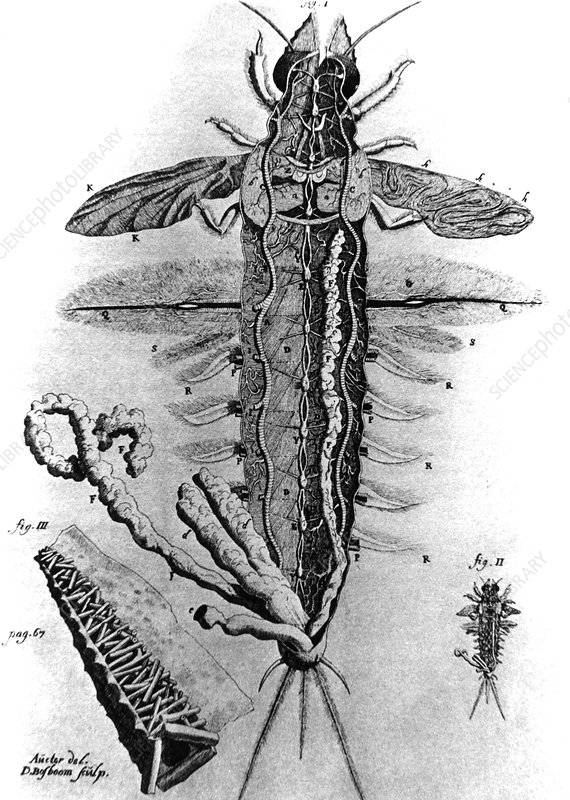 Dissection of mayfly larva by Swammerdam, 1675