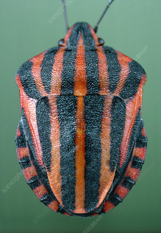 The bug, Graphosoma italicum, with warning colours