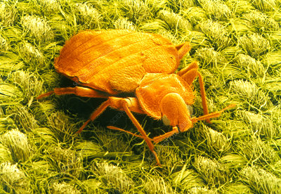 SEM of a bed bug