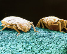 SEM of bed bugs crawling on fabric