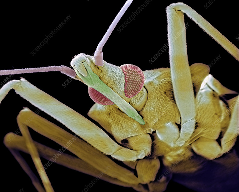 Assassin bug, SEM
