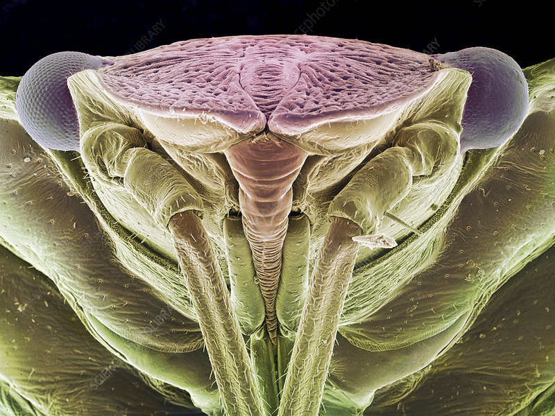 Green shield bug, SEM