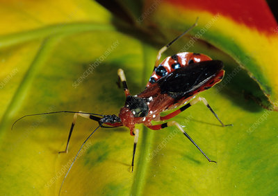 Assassin Bug, Borneo