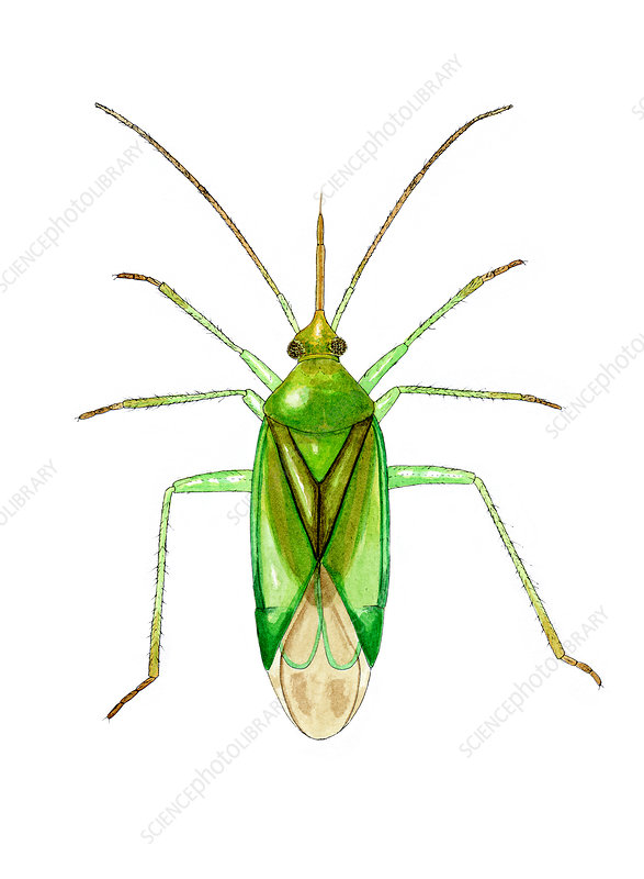 Common green capsid bug