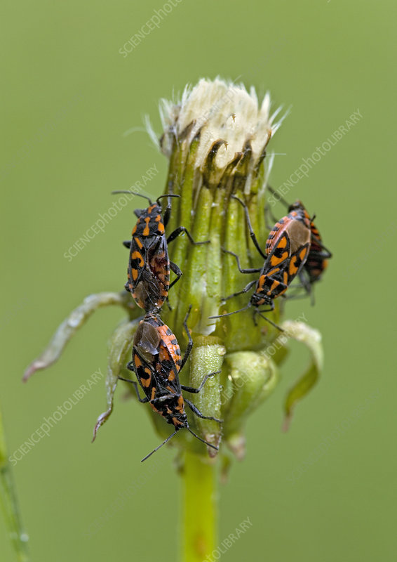 Ground bugs mating