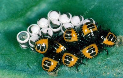 Harlequin bug nymphs