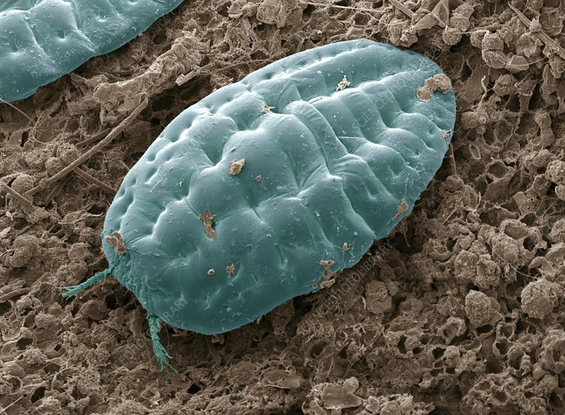 Scale insect, SEM