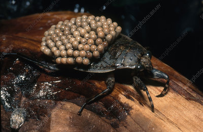 Waterbug with Eggs