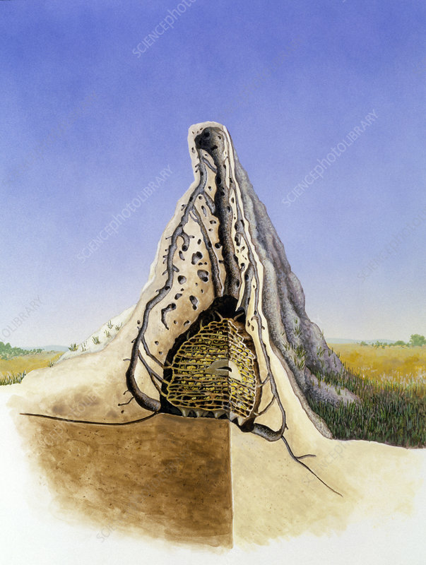 Cutaway Artwork Of A Termite Mound Stock Image Z290 0022 Science Photo Library